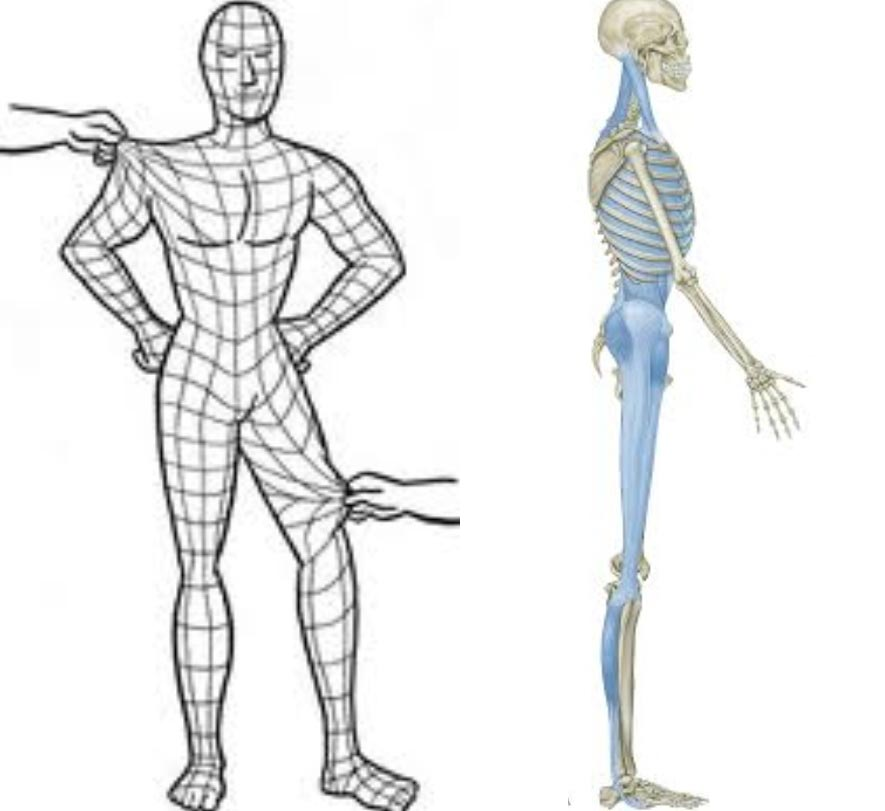 3-4-fascia-skeletal