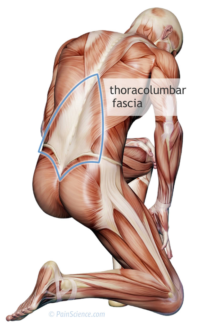 thoracolumbar-fascia-xl