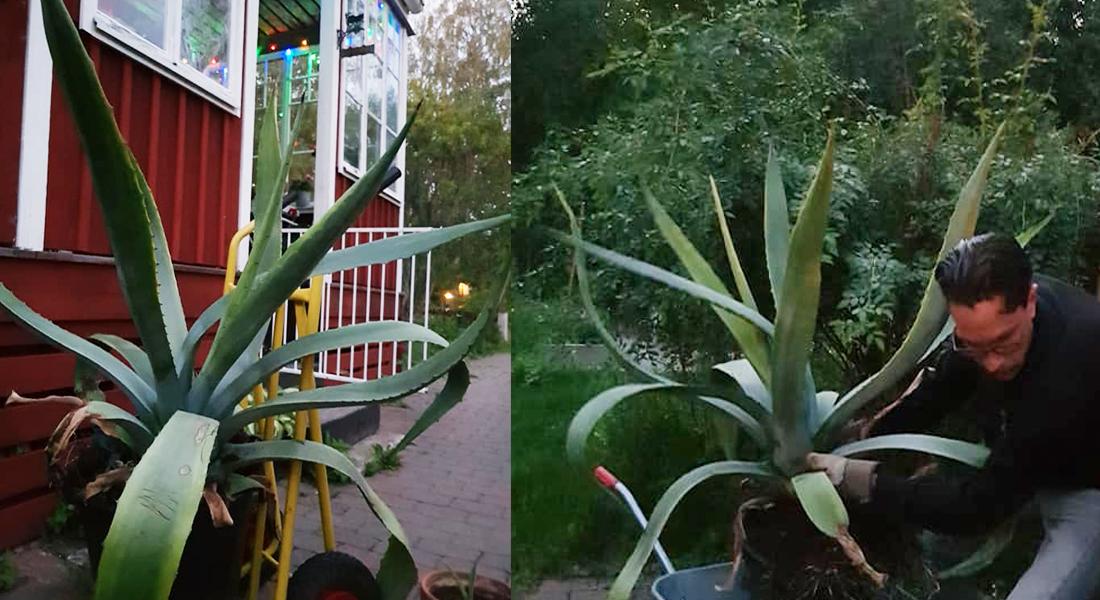 agave-kaktus-edsbro-tanja-dyredand
